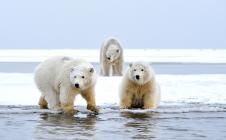 L'ours polaire suivi par Argos